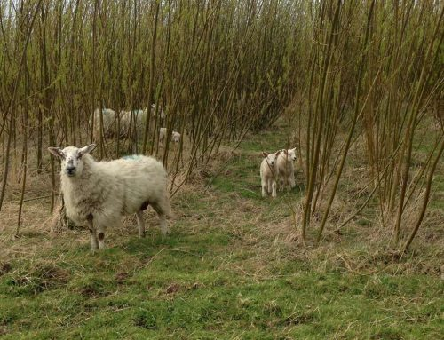 Cutting emissions by using Willow as fodder for sheep