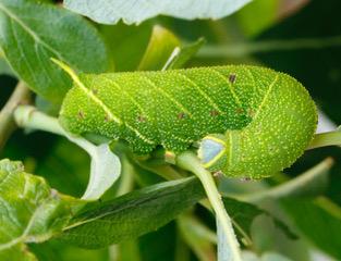 Poplar Hawk Moth larva